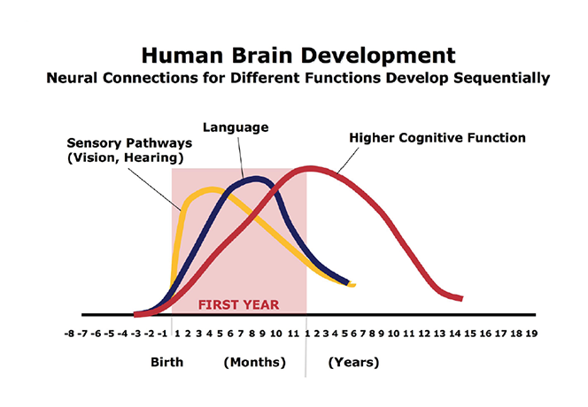 In the proliferation and pruning process, simpler neural connections form first, followed by more complex circuits. The timing is genetic, but early experiences determine whether the circuits are strong or weak. Source: C.A. Nelson (2000). Credit: Center on the Developing Child