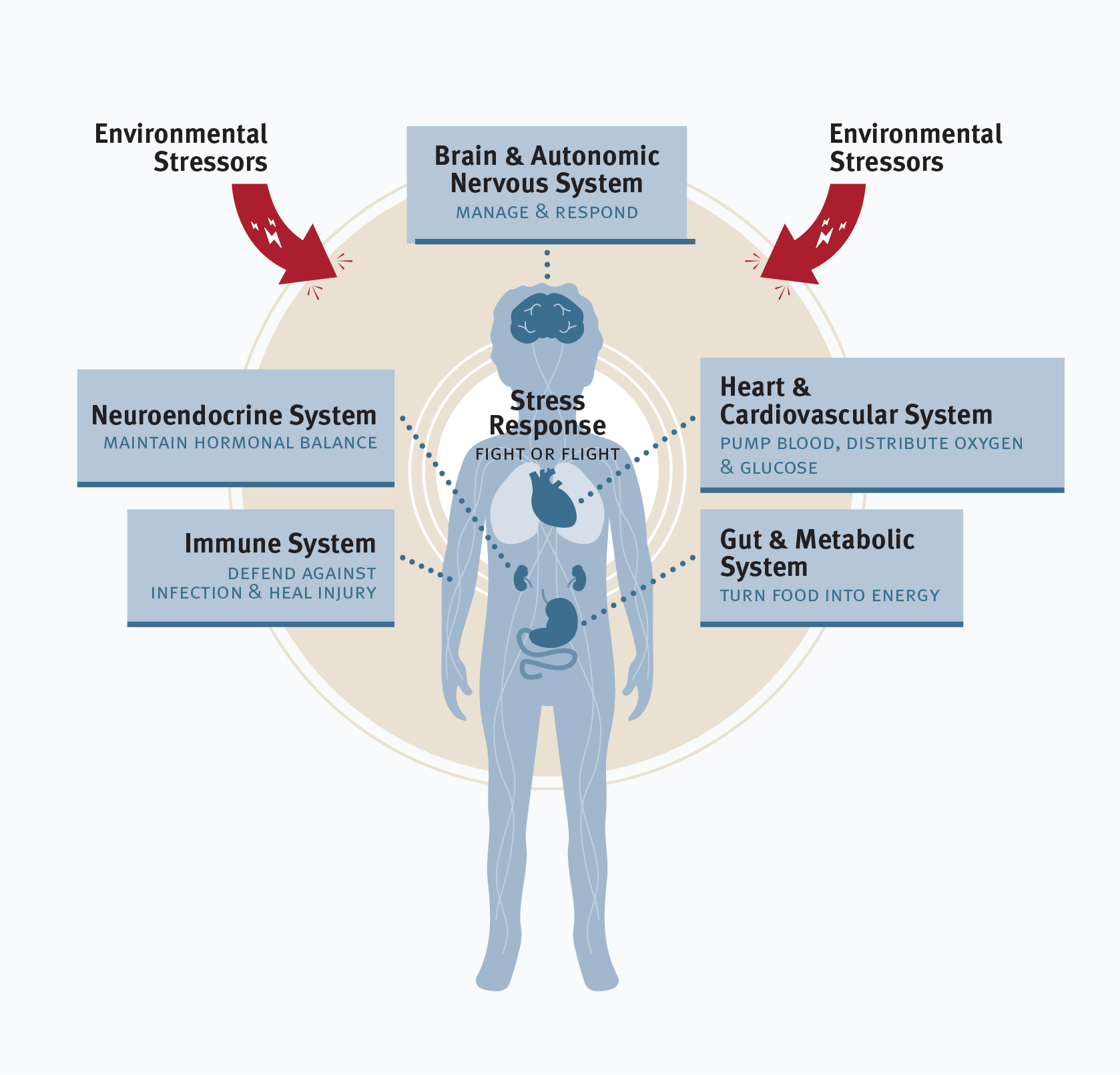Graphic showing how environmental stressors affect the health of various systems of the body, including the immune system, which defends against infection and heals injuries; the neuroendocrine system, which maintains hormonal balance; the brain and autonomic system, which manages and responds; the heart and cardiovascular system, which pumps blood and distributes oxygen and glucose; and the gut and metabolic system, which turns food into energy. Environmental stressors trigger a stress response in the body that activates all of these systems.
